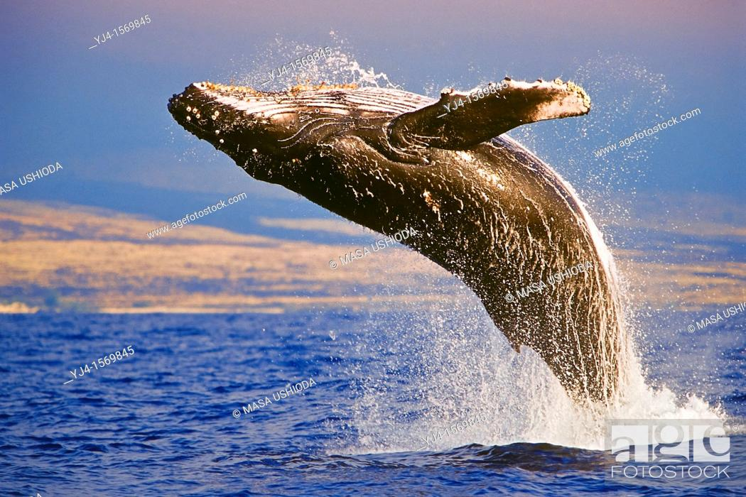 Stock Photo: Humpback Whale, Megaptera novaeangliae, breaching under golden sunset light, Hawaii, USA, Pacific Ocean.