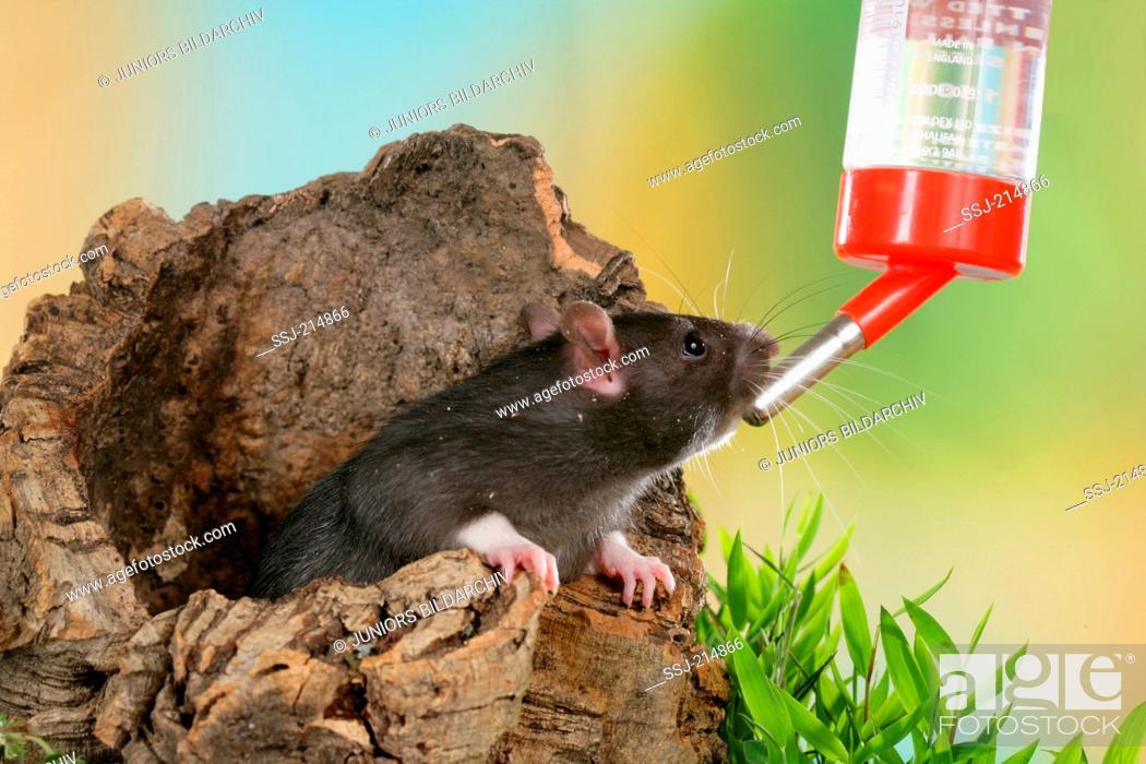 Fancy Rat, Pet Rat (Rattus norvegicus forma domestica