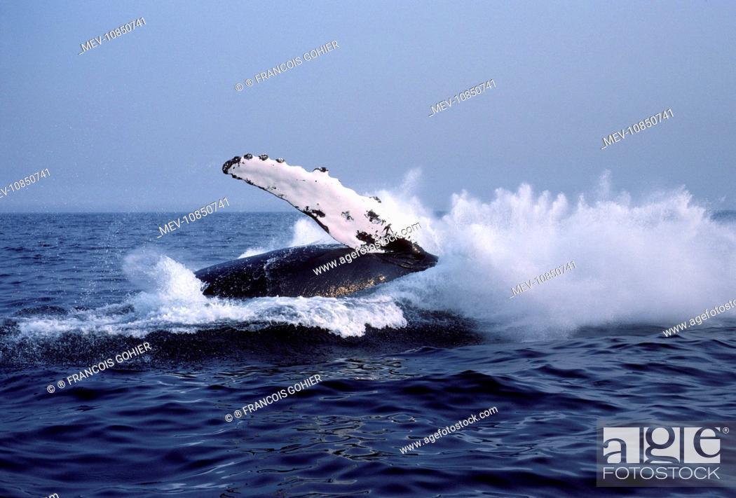 Stock Photo: Humpback whale - falling back into the sea at the end of a breach. (Megaptera novaeangliae). Stellwagen Bank Marine Sanctuary, New England, USA.