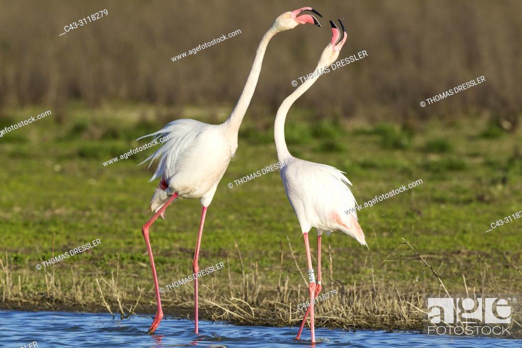 Imagen: Greater Flamingo (Phoenicopterus roseus). Quarrel between two birds at the Laguna de Fuente de Piedra near the town of Antequera.