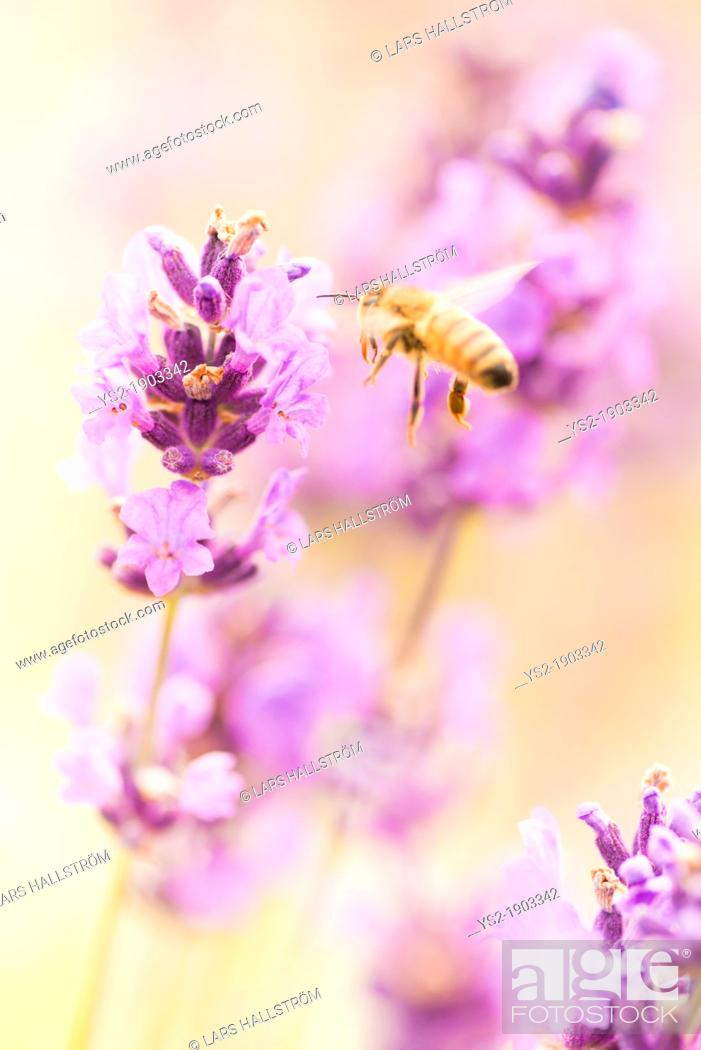 Stock Photo: Summer scene with busy bee pollinating lavender flowers in green field.