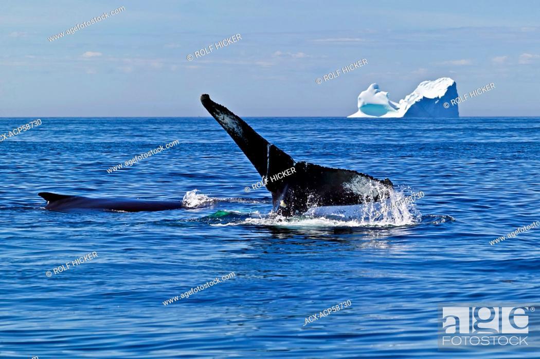 Stock Photo: Humpback Whale, megaptera novaeangliae, iceberg, Canada, Newfoundland, Northern Peninsula,.