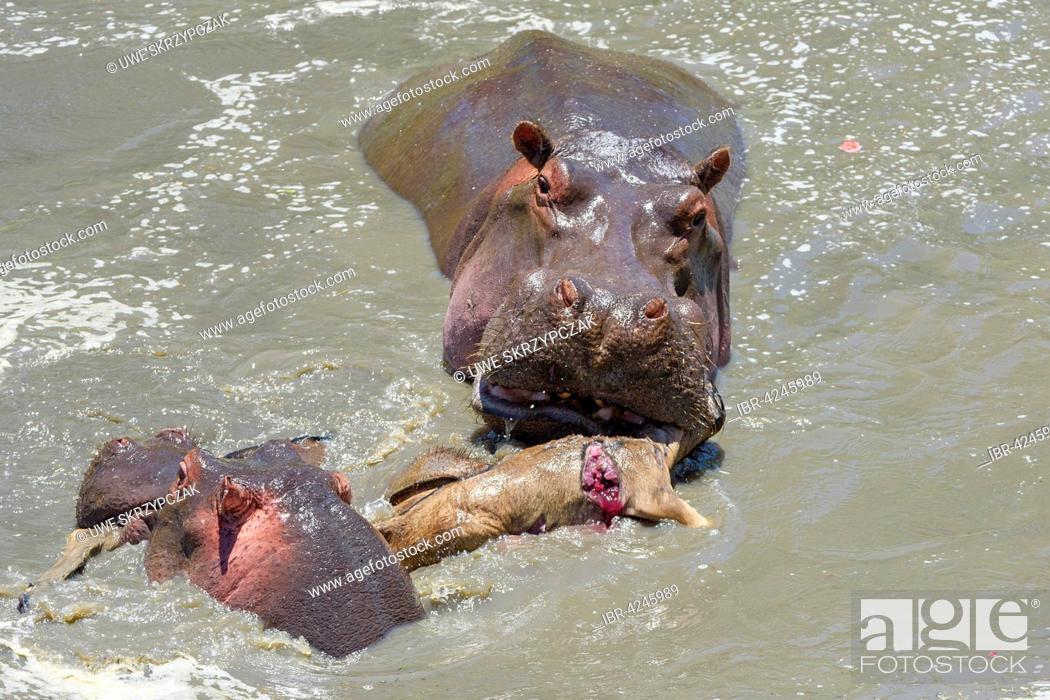 Imagen: Hippopotamuses (Hippopotamus amphibious) hunting and killing wildebeest (Connochaetes roperinus) calf, unusual behavior, Masai Mara, Narok County, Kenya.