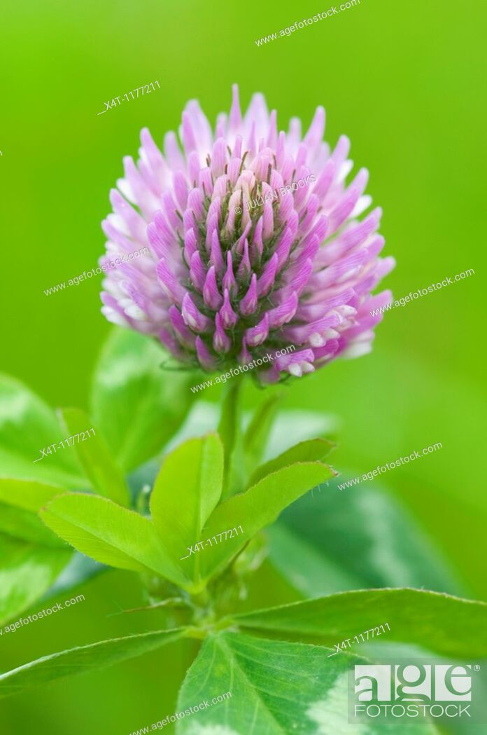 Stock Photo: Extreme close up of red clover, Trifolium pratense, with limited depth of field.