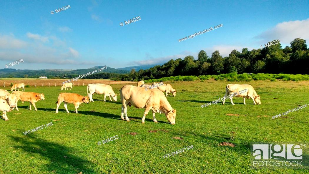 Imagen: Cows in Auritz (Burguete), Way of St. James. Navarre, Spain, Europe.