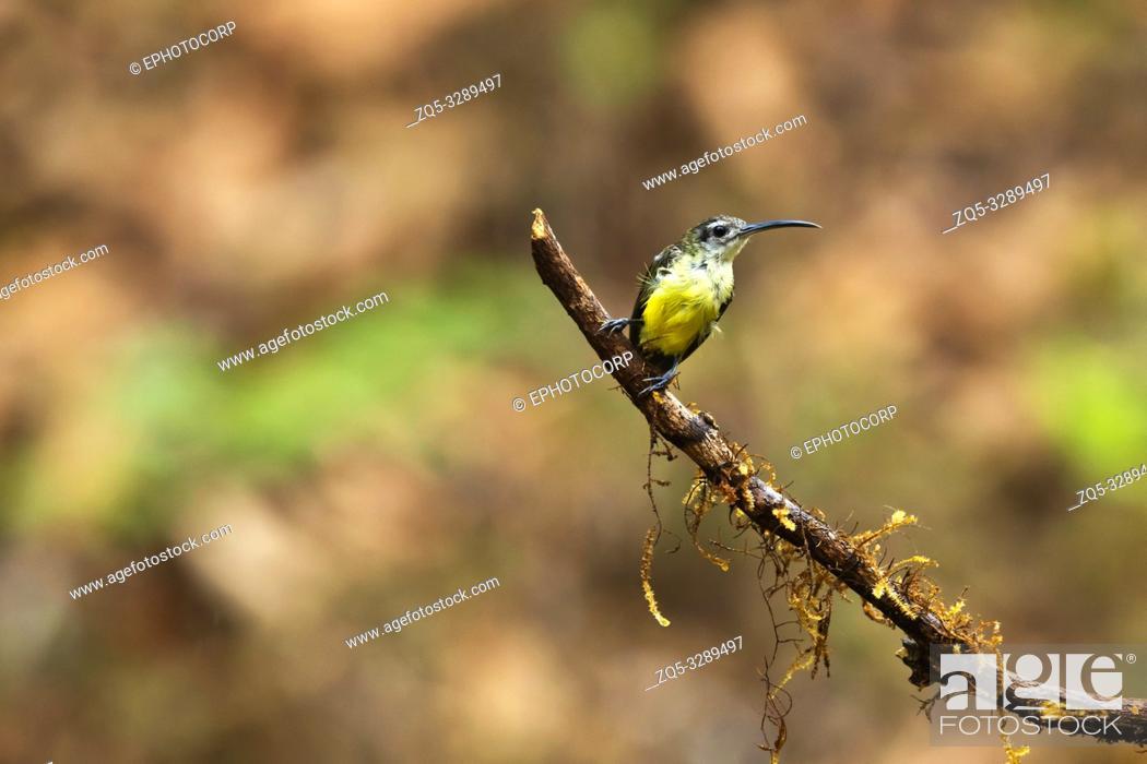 Stock Photo: Little Spiderhunter, Arachnothera longirostra, Western Ghats, India.
