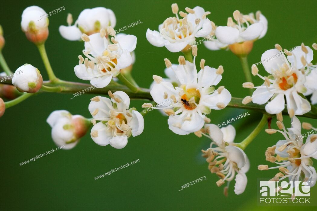 Photo de stock: Portugal laurel (Prunus lusitanica) inflorescences in a garden. A twig with delicate, brilliant and sweet scented white blossoms. Bavaria, Germany.