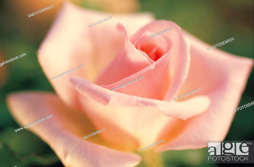 Stock Photo: Rose.