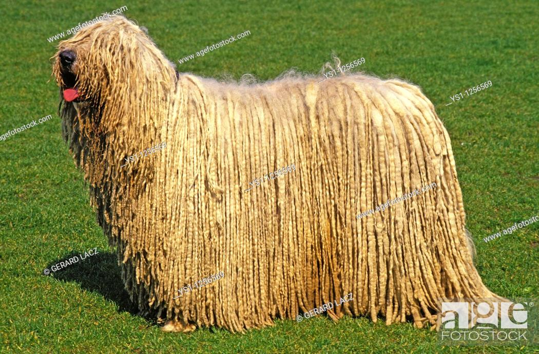 Stock Photo: KOMONDOR DOG, ADULT ON GRASS.