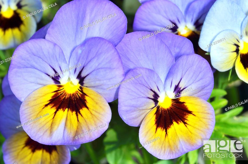 Stock Photo: Violetas cultivadas.