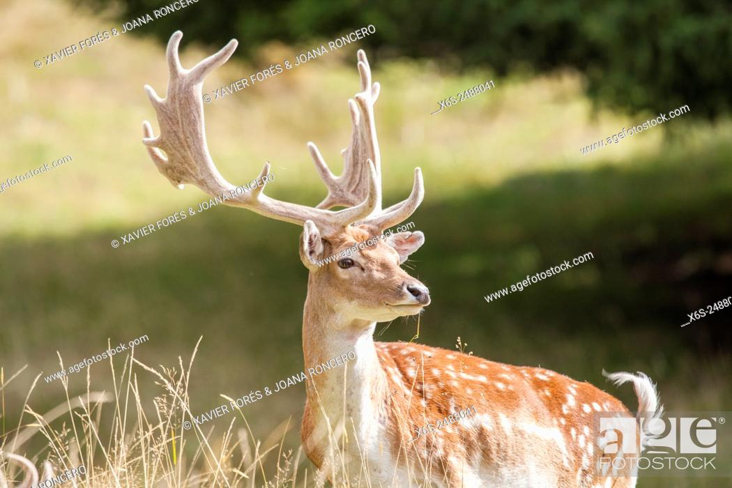 Stock Photo: Fallow deer - Dama dama - , Haute Savoie, Rhône-Alpes, France.