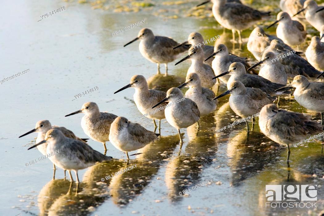 Stock Photo: Willets - J N  Ding Darling National Wildlife Refuge - Sanibel Island, Florida USA.