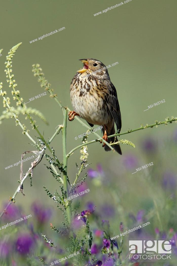 Stock Photo: Corn Bunting Emberiza calandra , perched on plant, singing, Portugal.