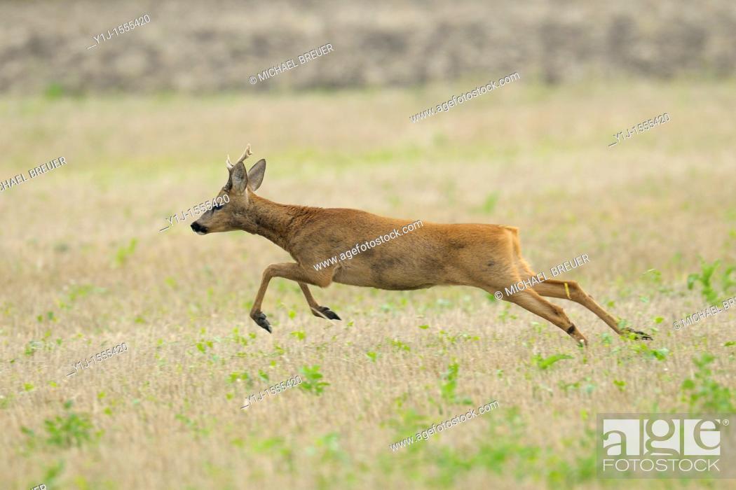 Stock Photo: Roe buck, Capreolus capreolus, Hessen, Germany, Europe.