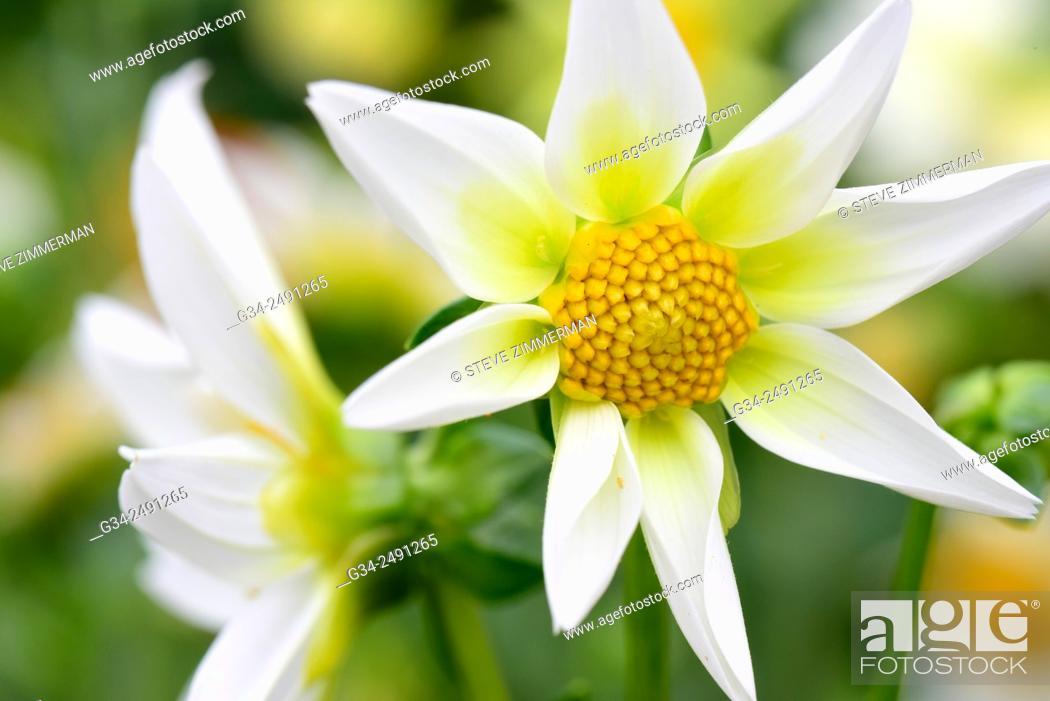 Stock Photo: Star Flower.