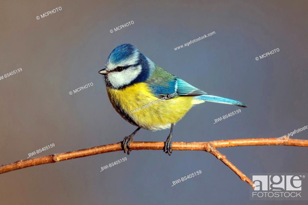 Imagen: blue tit (Parus caeruleus, Cyanistes caeruleus), sittin on a branch, Austria, Burgenland.