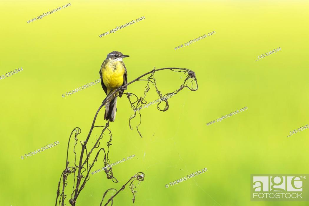 Stock Photo: Yellow Wagtail (Motacilla flava). In a rice field. Environs of the Ebro Delta Nature Reserve, Tarragona province, Catalonia, Spain.