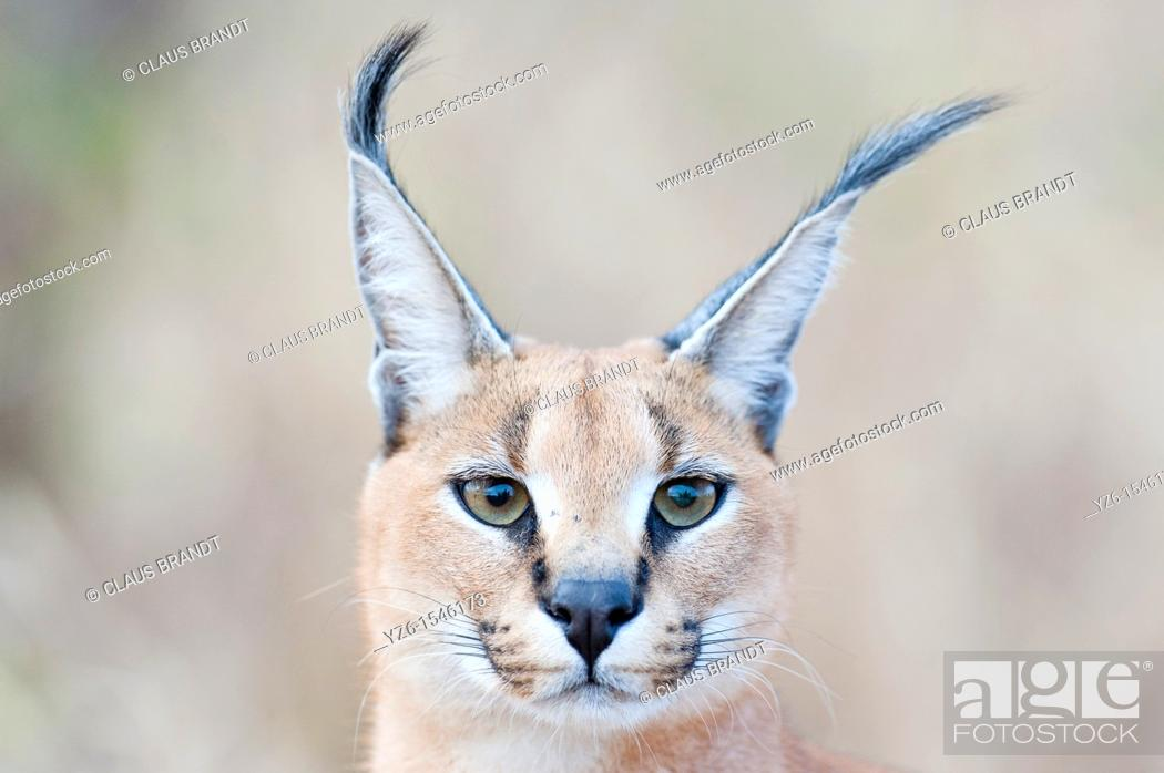 Stock Photo: Portrait of a Caracal Caracal caracal  Greater Kruger Park, South Africa.