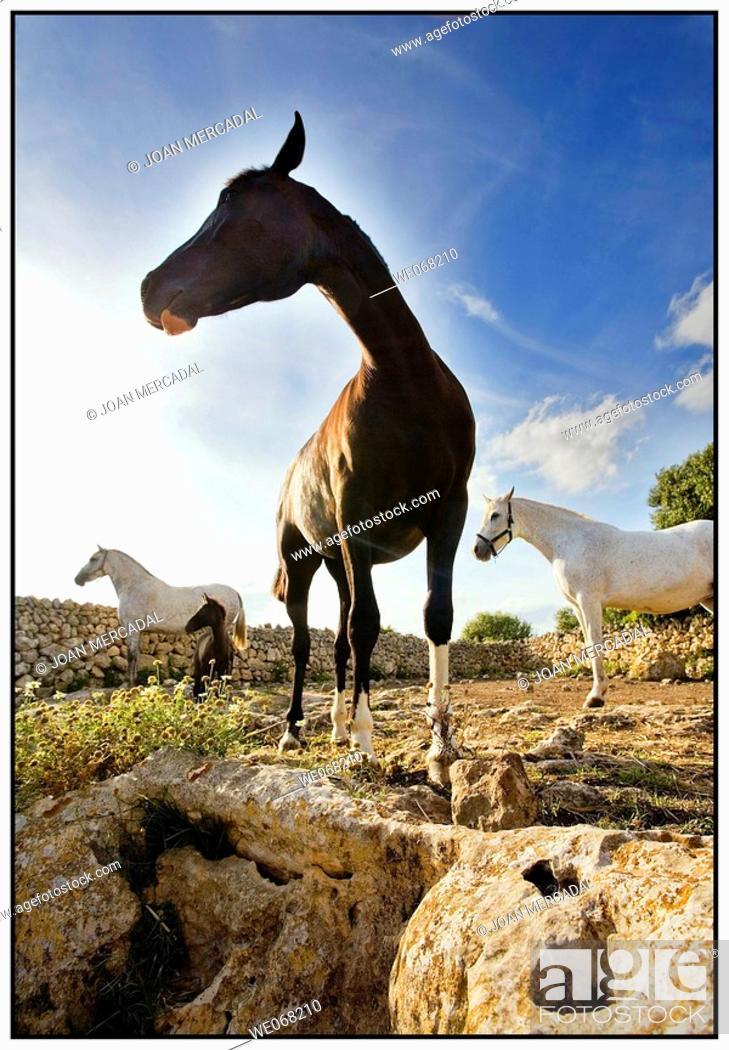 Stock Photo: Horses. Minorca, Balearic islands, Spain.