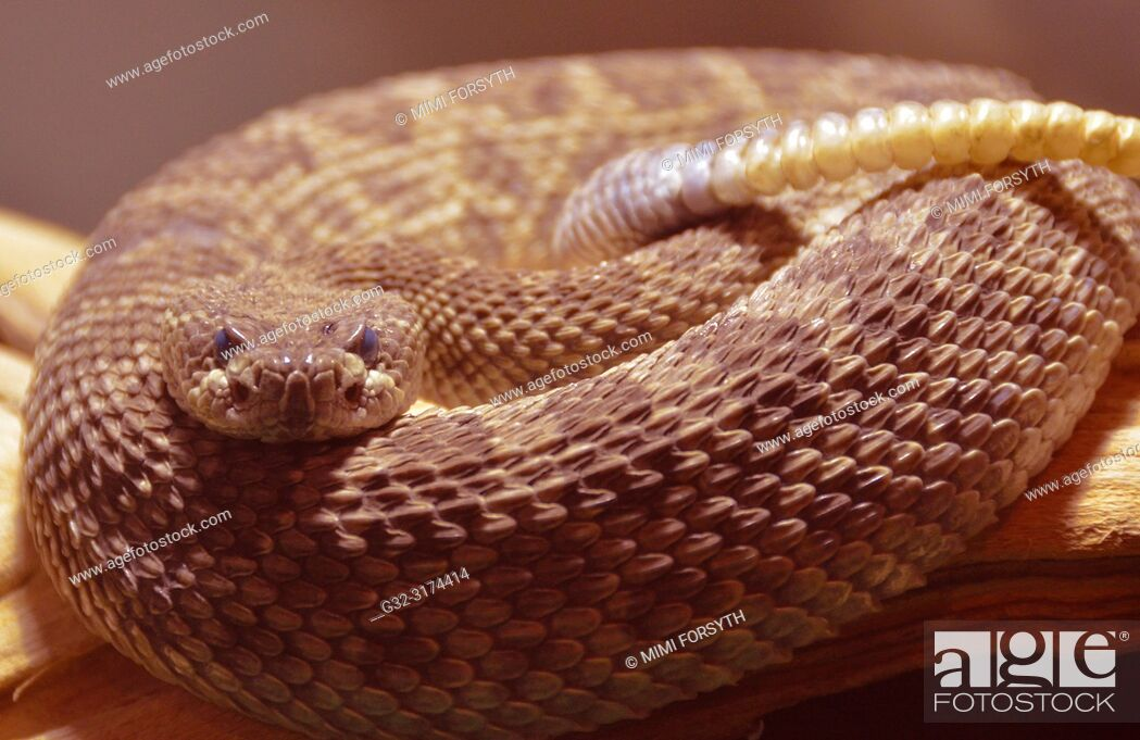 Stock Photo: Western Rattlesnake (Croatalus oreganus) New Mexico.