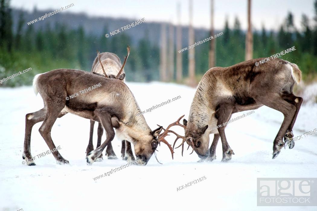 Stock Photo: Rangifer tarandus caribou - Woodland Caribou, Central British Columbia, Canada.