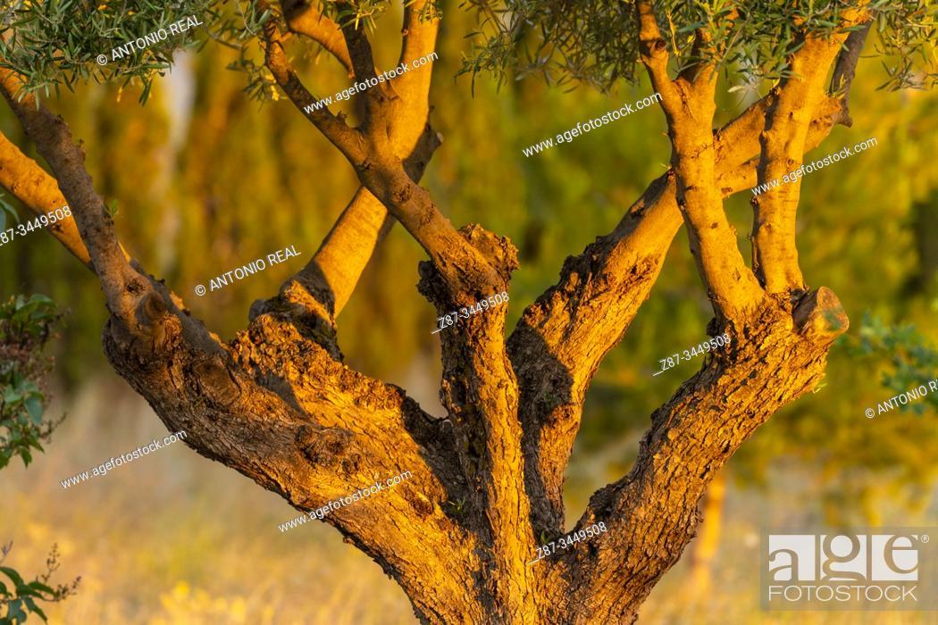 Stock Photo: Olive tree trunk (Olea europaea). Almansa, Albacete Province, Spain.