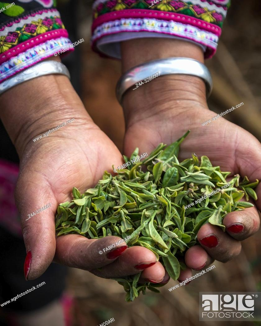 Stock Photo: Woman's hands holding tea in Yunnan, China. Woman is dressed with a minority attire.