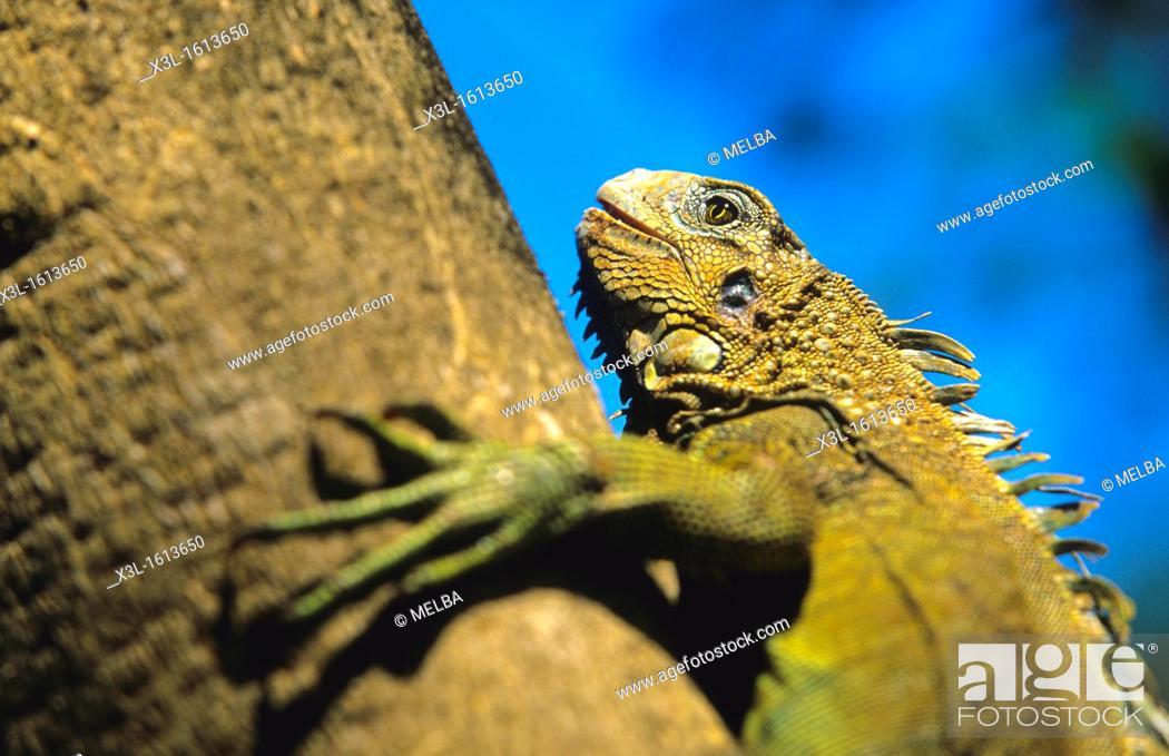 Stock Photo: male iguana Iguana iguana Chagres National Park Panama.