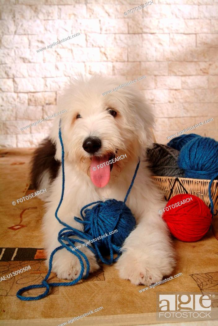 Stock Photo: pose, sheepdog, house pet, canines, domestic, old english sheepdog.