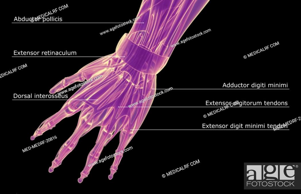 Stock Photo: The muscles of the hand.