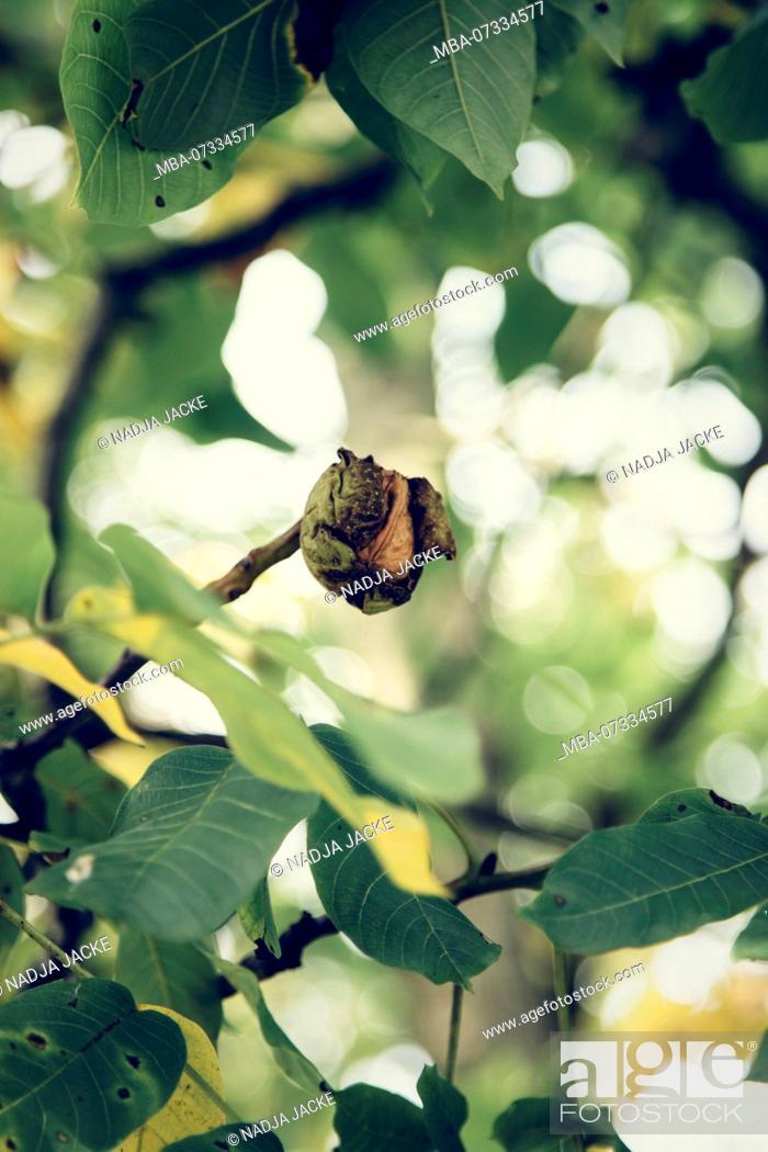 Stock Photo: Walnut hanging on the tree,.
