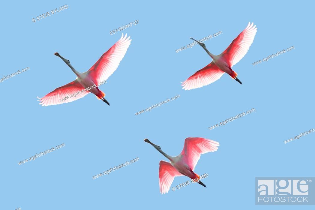 Stock Photo: Roseate Spoonbills In Flight.