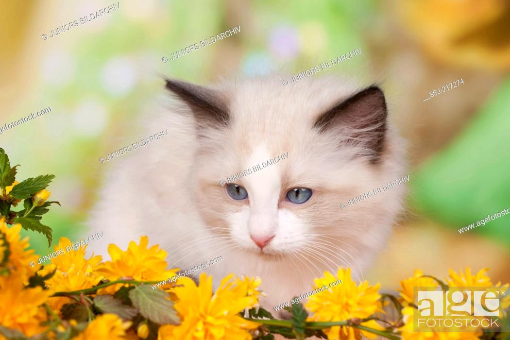 Stock Photo: Ragdoll. Kitten sitting behind yellow flowers. Germany.