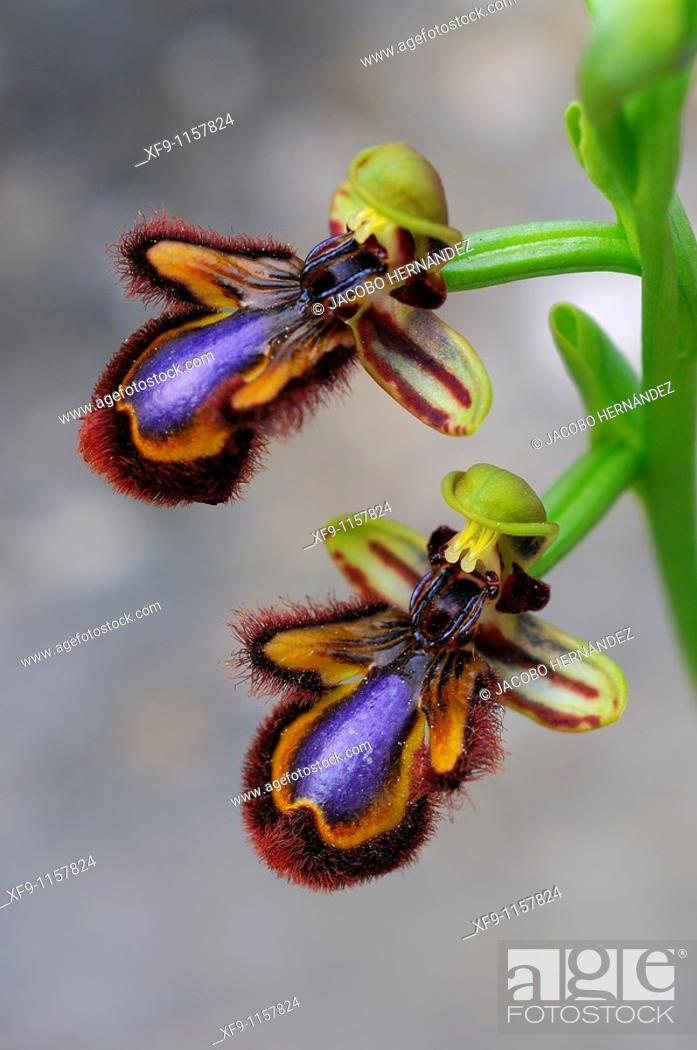 Stock Photo: Ophrys speculum.