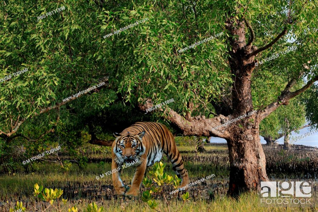Imagen: Royel bangel tiger in Sundarban The Sundarbans, a UNESCO World Heritage Site and a wildlife sanctuary The largest littoral mangrove forest in the world.