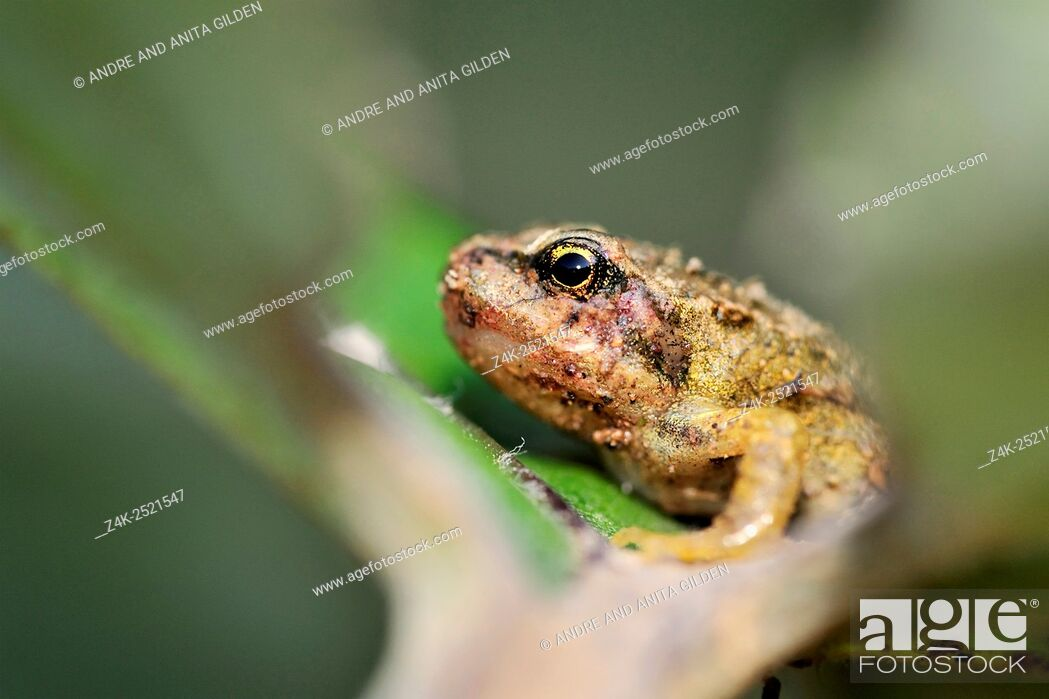 Imagen: Common frog (Rana temporaria) portrait, close up in a leaf, with shallow depth of field, Netherlands.