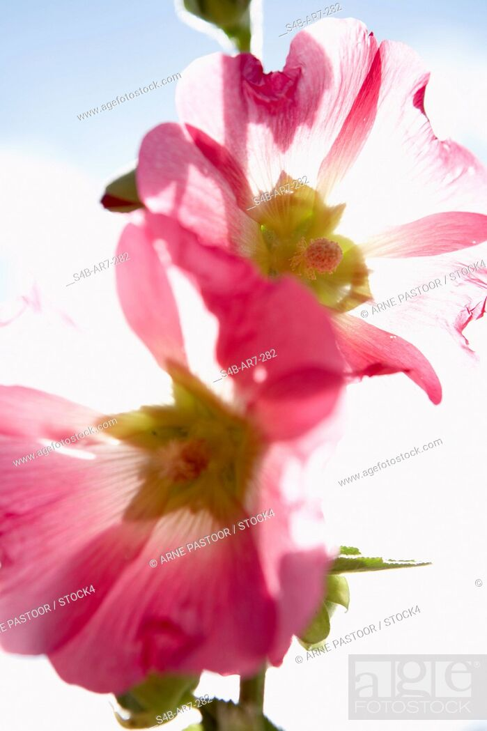 Stock Photo: Flower with pink blossoms.