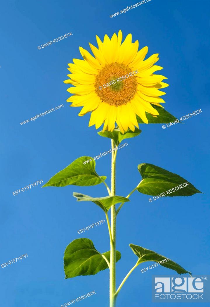 Stock Photo: Sonnenblume.