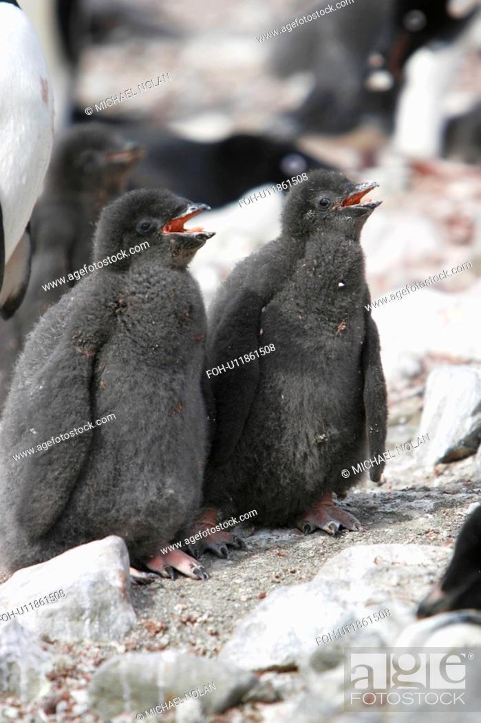 Stock Photo: Adelie penguin Pygoscelis adeliae normal coloured chicks, the parent is a leucistic adult on Devil Island near the Antarctic Peninsula.