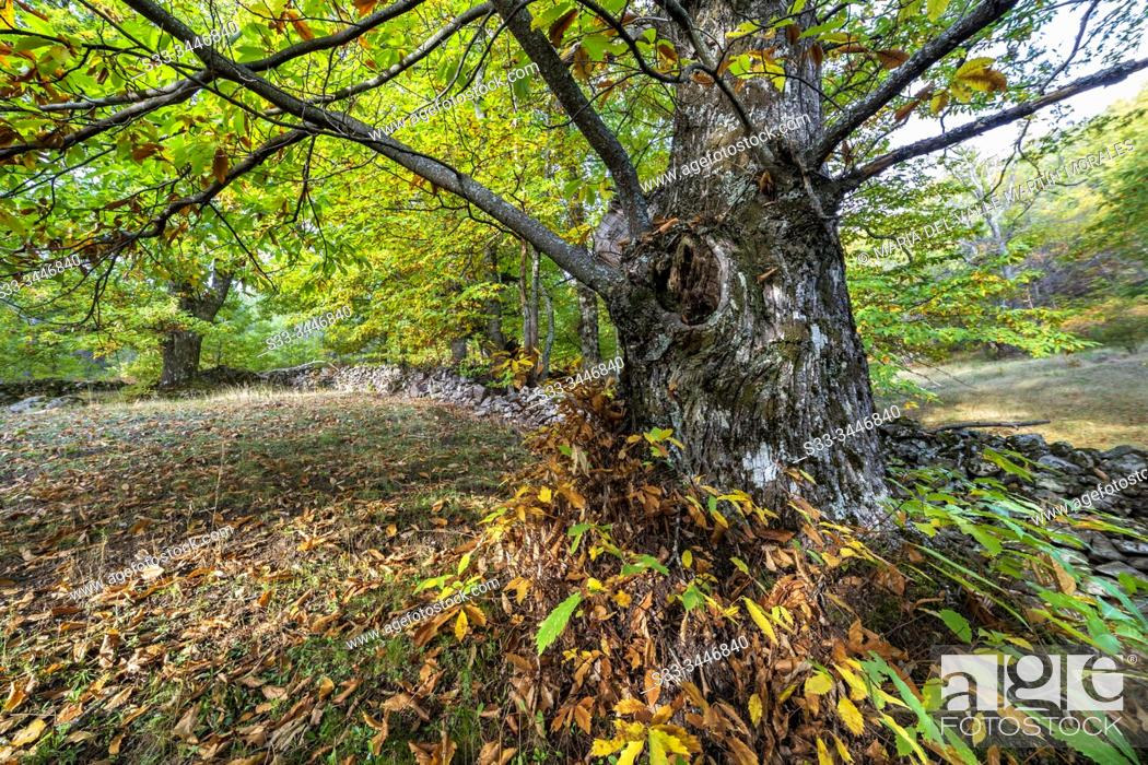 Stock Photo: Fence and autumn at Linar chestnut. Avila. Spain. Europe.