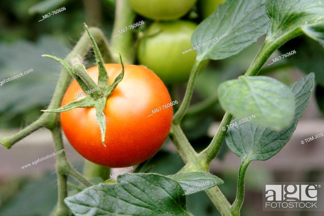 Stock Photo: Ripe red tomato growing on vine close up. England UK.