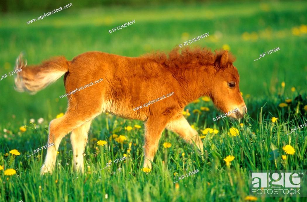 Stock Photo: Shetlandpony - foal on meadow.