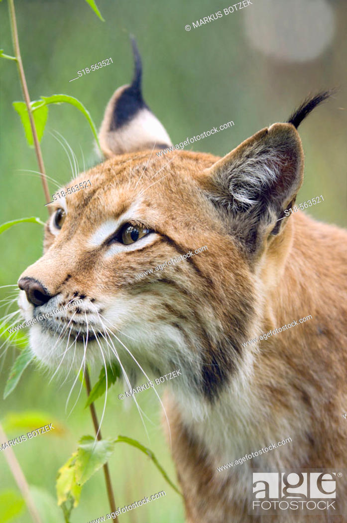 Stock Photo: Eurasian Lynx (Lynx lynx).