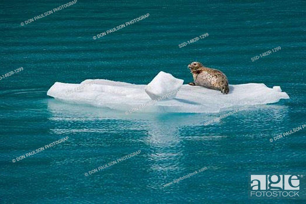 Stock Photo: Harbor seal Phoca vitulina on an ice floe in the sea, Glacier Bay National Park, Alaska, USA.