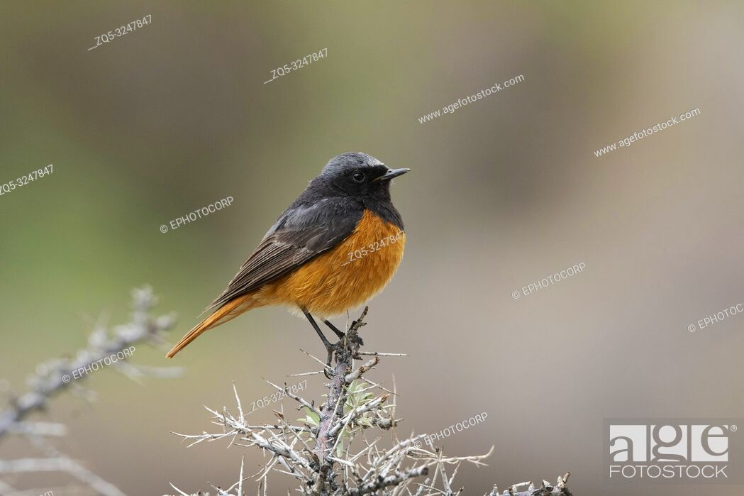 Stock Photo: Black Redstart, Phoenicurus ochruros, Nubra Valley, Ladakh, Jammu and Kashmir, India.