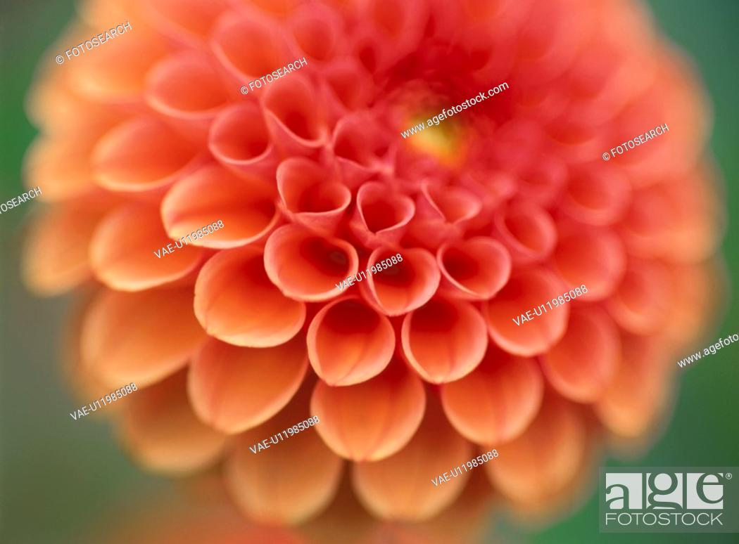 Stock Photo: Dahlia.