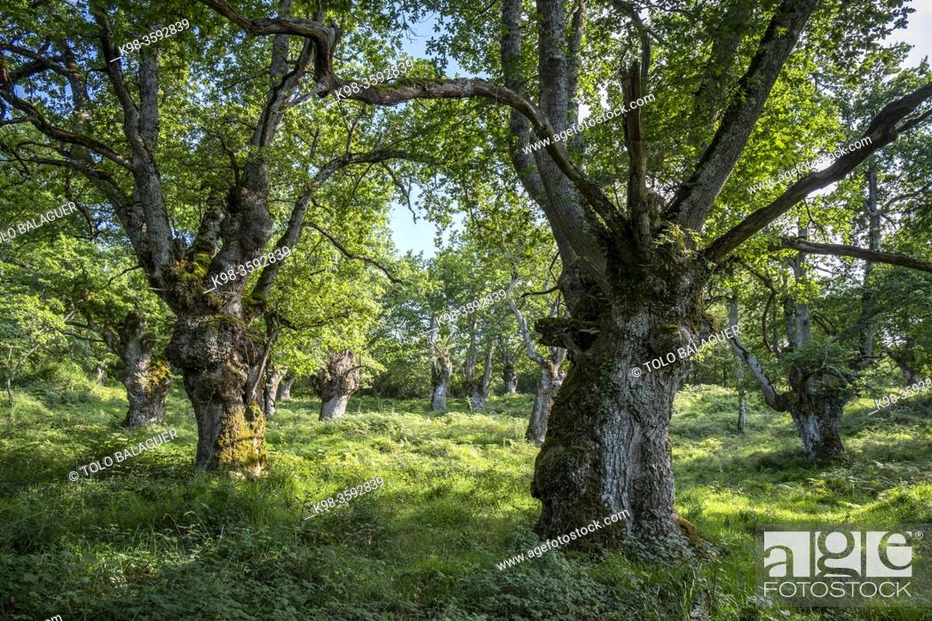 Stock Photo: green route, forest of the Centennial Oaks, Munain and Okariz, Alava, basque country, spain.