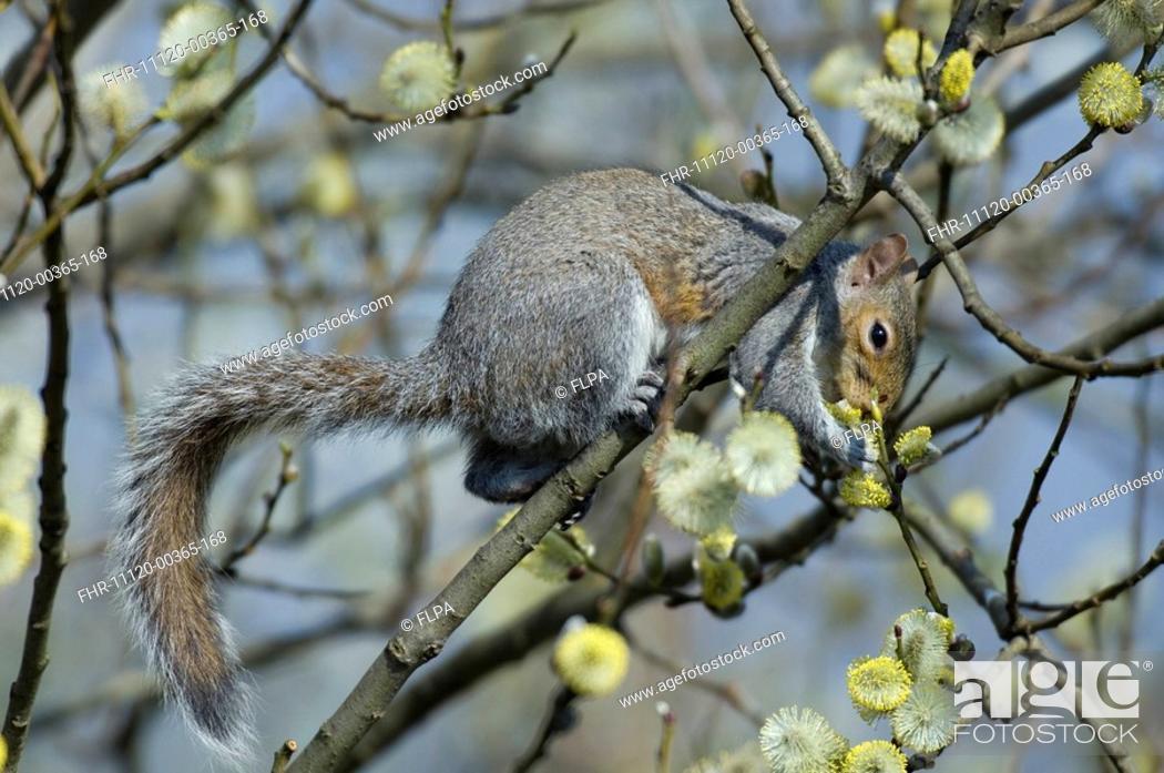 Stock Photo: Eastern Grey Squirrel Sciurus carolinensis adult, feeding on willow buds in urban garden, Greater Manchester, England.
