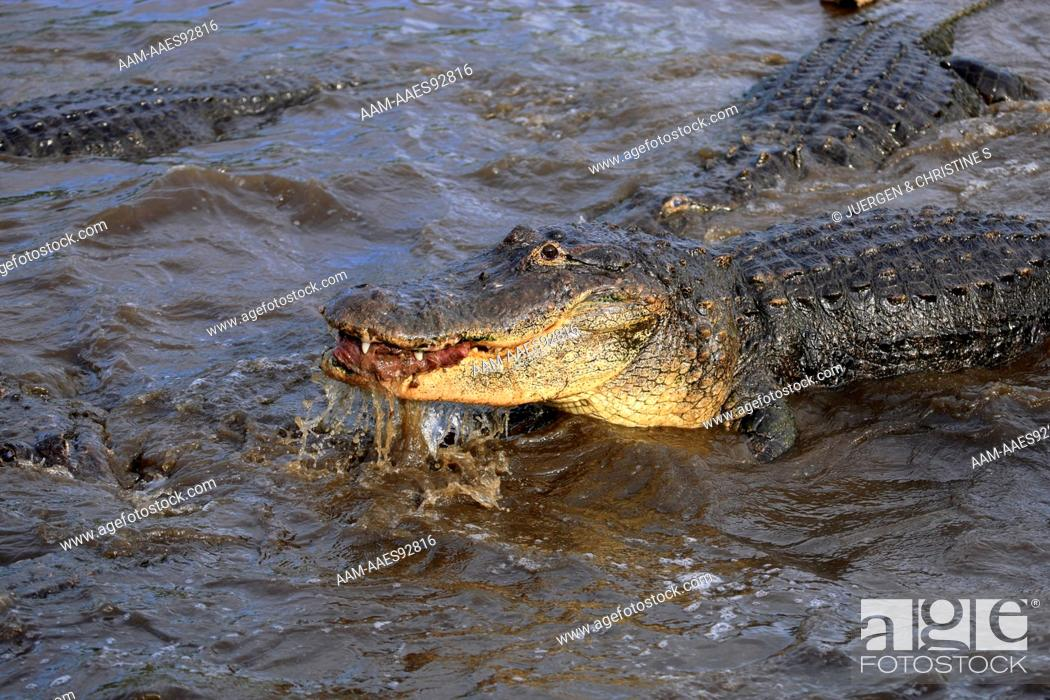 Stock Photo: American Alligator (Alligator mississipiensis) adult portrait feeding in water, Florida, USA.