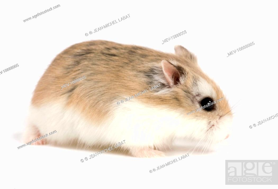 Roborovski Hamster, Stock Photo, Picture And Rights Managed